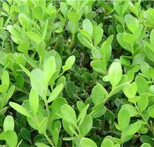 Evergreen Spindle Seedling Outdoor Plant Evergreen Plants