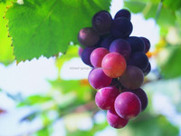 factory supply high purity Vitis Vinifera L.