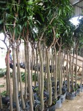 Mangos fruit trees all size