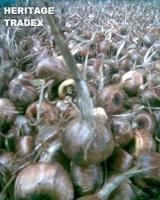 Saffron Bulbs (Crocus Sativus)