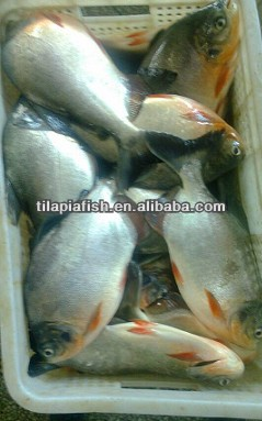 Fresh Seafood Frozen red pomfret fish whole round