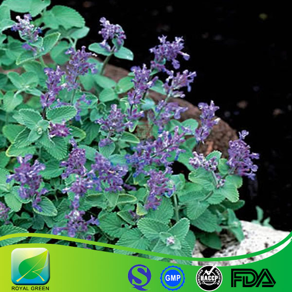 High quality Nepeta Extract,Cat Nut Extract,Schizonepeta Tenuifolia Extract