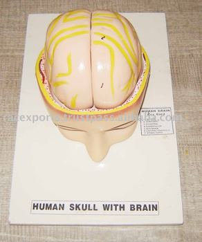 model of human skull with brain