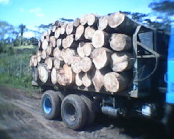 SOFTWOOD ALBIZIA FALCATARIA RAW LOGS MATERIAL