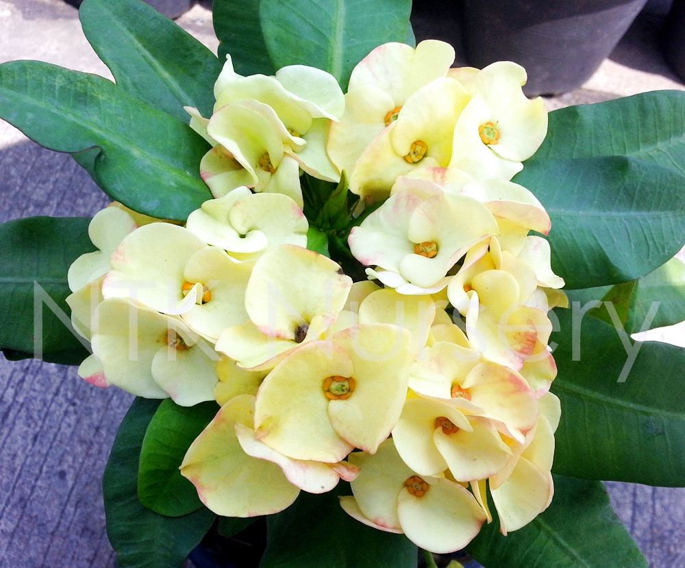 "Live Ornamental Plants and Euphorbia milii plant ""Golden Lucky"""