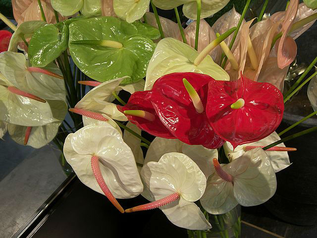 Anthurium Fresh Cut Flowers