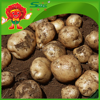 Low price russet potatoes export fresh potato to india and dubai