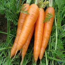 Wholesale Cheap Hand Picked Red Carrot