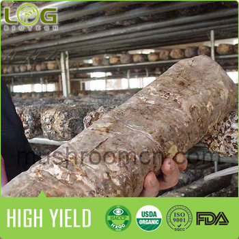 Shiitake mushroom logs with the most competitive price and 100% stable quality
