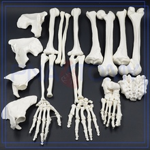 PNT-0100 high quality skeleton model for school project adult