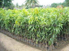 Import Mango fruit tree seedling for sale