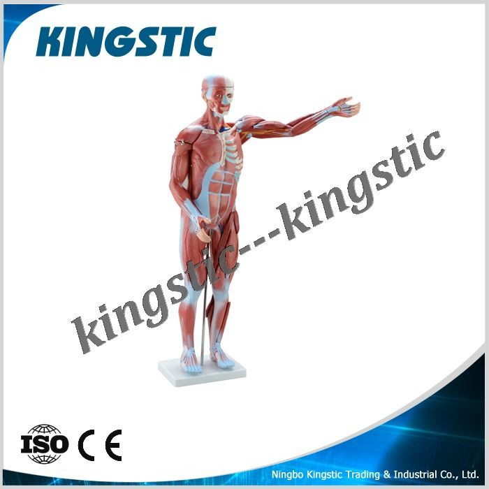 80cm human muscle model 27 parts,human muscle model,human body parts