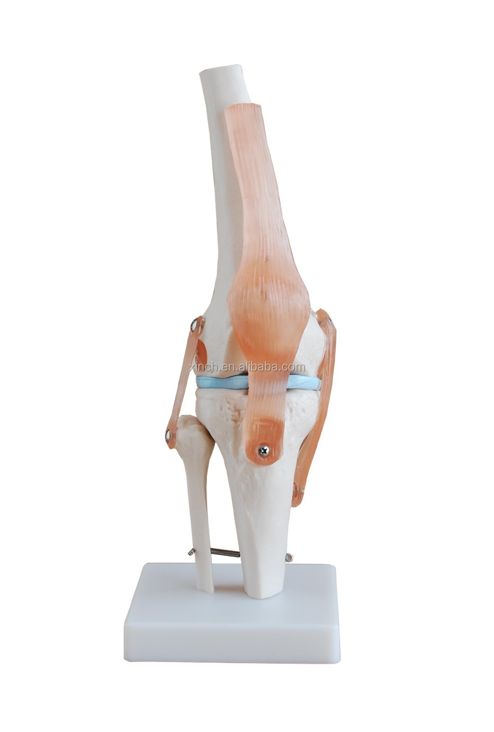 Life-Size Artificial Knee Joint Anatomical Model