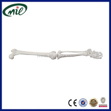 Natural human leg skeleton model, medical lower extremity anatomical model