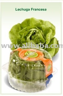 Lechuga Francesa-Boston lettuce