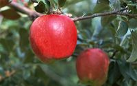 red apple essence for drinking & dairy products