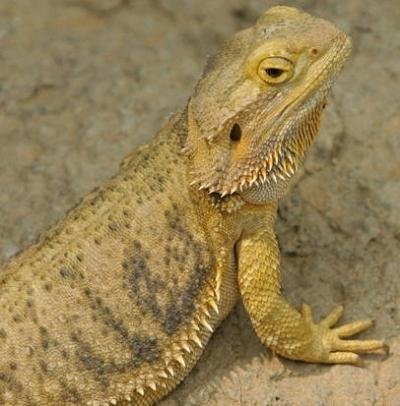 Adult male Bearded dragon