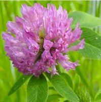 Red Clover Flower Extract
