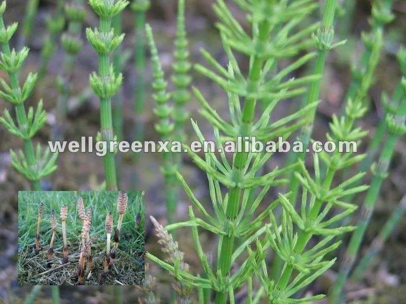 top quality Horsetail P.E.