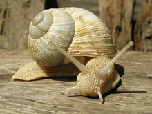 Pomatia - live wild snails from Bulgaria