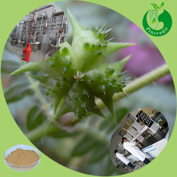 High quality tribulus terrestris extract powder 70%saponins