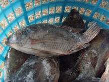 High quality wholesale Gutted Black fishing tilapia price