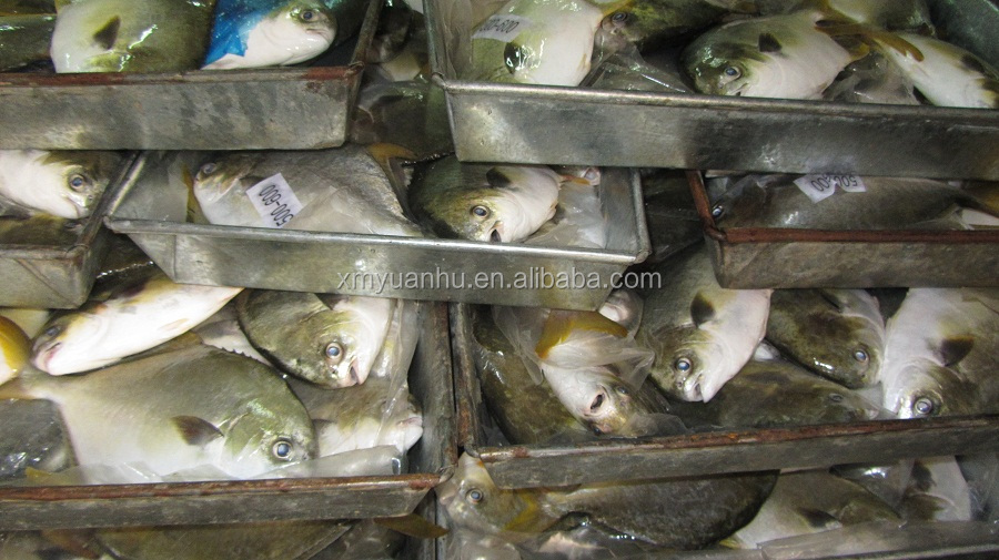 hot selling best fresh golden pomfret export