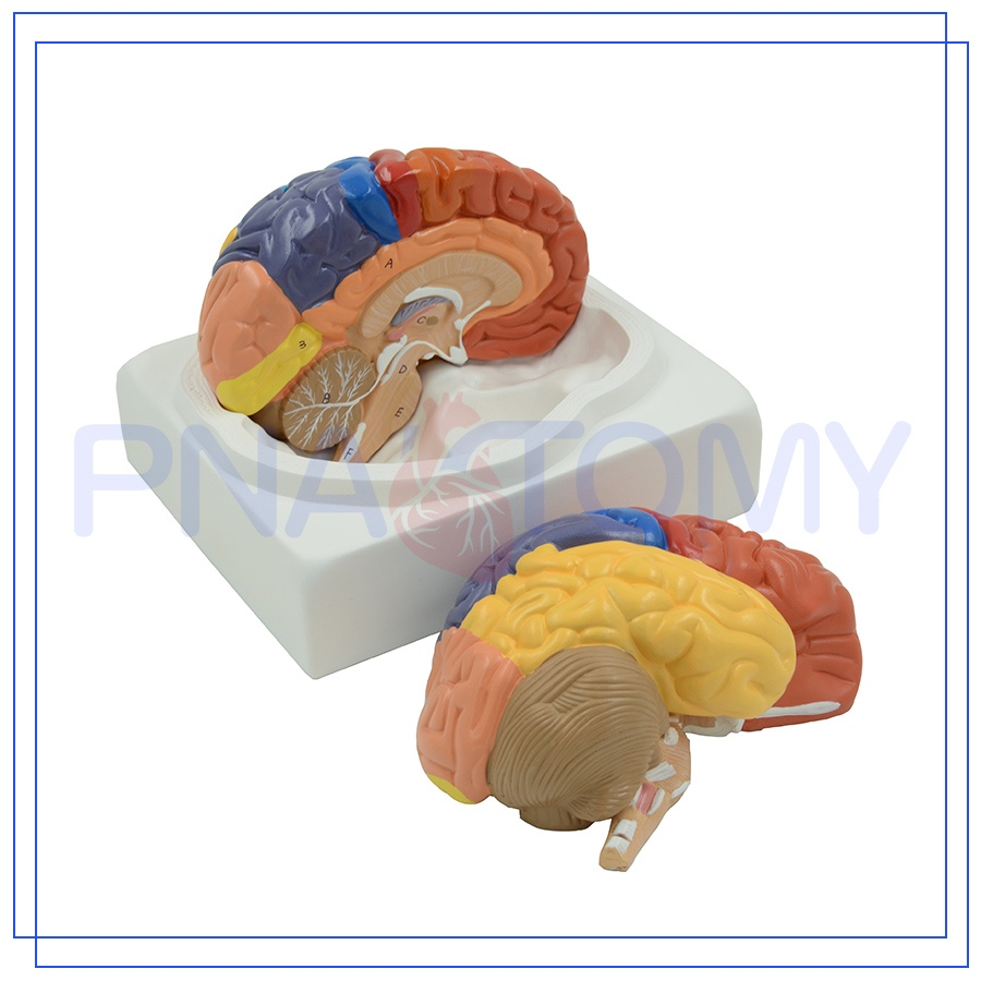 PNT-0612 Human anatomic plastic brain model for promotional gift
