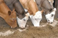 live stock cattle