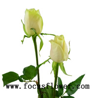 silk vision flowers wholesale ecuadorian roses fresh cut flowers colombia vendela rose from kunming