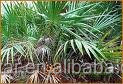 High Quality ISO Kosher saw palmetto fruit extract