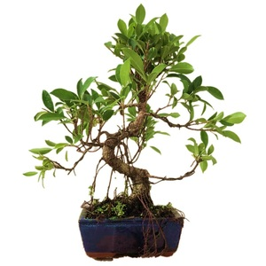 S Shape Ficus Microcarpa Bonsai Ornamental Indoor Plant