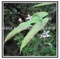 Short horned epimedium extract
