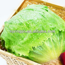 China top brand lowest price iceberg lettuce high land planting organic green leaf vegetables