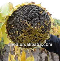 1335 Chinese Planting Sunflower Seed