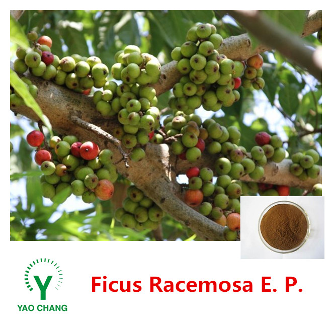 Hot Sale High Quality Ficus Racemosa Extract Powder