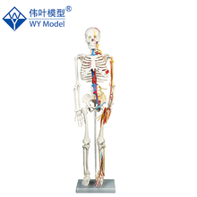 School Supplies Skeleton With Nerves And Blood Vessels Human Model,Human Model