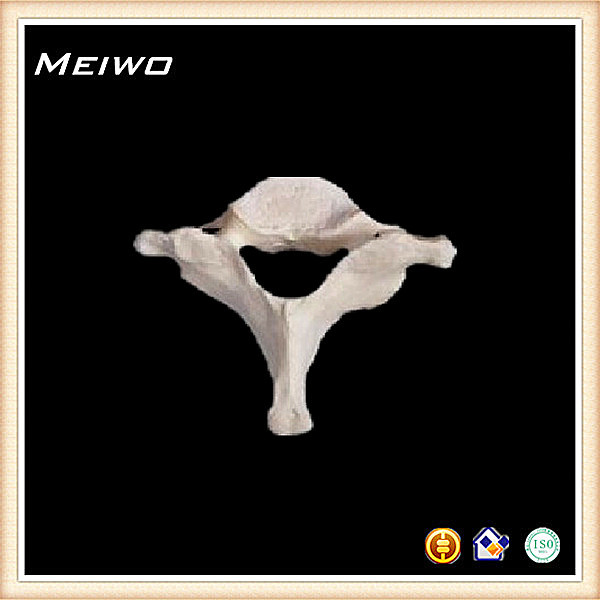 Fake skeleton bone of cervical vertebral