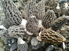 cultivated Morel mushroom/dried morel/black morchella conica
