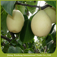 Chinese fresh Ya pears fruits new crop