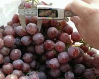 2013 New Fresh grapes/fresh red globe grapes/new arrival red table grapes