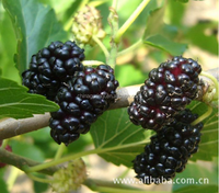 Freeze-Dried Mulberry/IQF frozen/fresh/100% Pure Natural