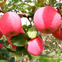 apple manufacturer exports fresh and delicious big fuji fruit washington apple red