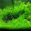 Freshwater Living Aquarium Plant Seeds