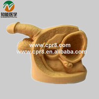 Male internal external reproductive organs and urethral catheterization model BIX-H5D
