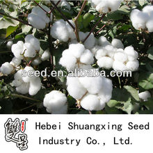 GL3 hybrid cotton seed for planting