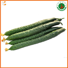 whole sale best price fresh cucumber