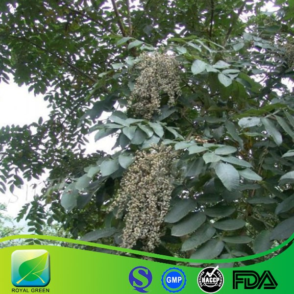 Factory Price Galla Chinensis P.E /Chinese Nutgall Extract /Chinese Gall Extract