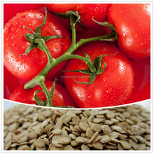 High yield tomato seeds tylcv resistant tomato seeds