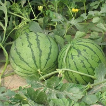S130 Xi gua 100 Percent Natural And Pure Watermelon Seed for Sale